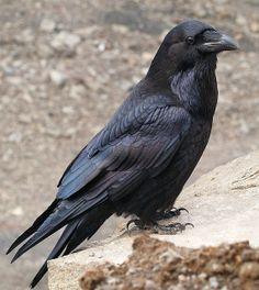 Raven 13 (hrafn) | Flickr - Photo Sharing! Very handsome dude!