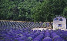 Provence, France. The smell of field lavender in late July just before harvest in the Vaucluse is a gift from heaven.