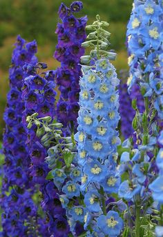 Ridderspoor of delphinium Tall Flowers, Shade Flowers, Beautiful Flowers, Annabelle Hydrangea, Garden Planning, Pansies, Garden Projects, Trees To Plant, Beautiful Gardens