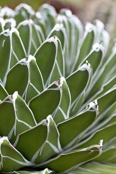Victoria-Regine steht im Winter lieber im Haus. Dann habt ihr auch Zeit, zu erforschen, warum die Agave so heißt...