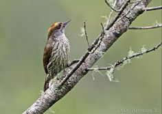 Antillean Piculet , a surviving offshoot of proto-woodpeckers