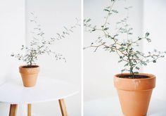 sophora prostrata i lerkrukke