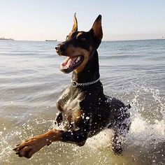 Saw a Doberman similar to this and a pup on the beach at Salt Rock. So lovely. Wanted to take them home!