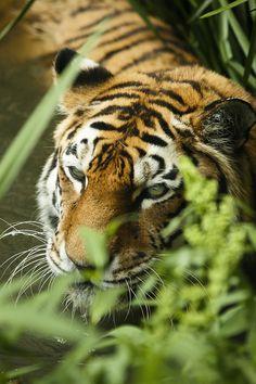 Tiger No5