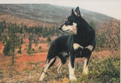 Lapponian Herder dog photo | lapponian herder | Flickr - Photo Sharing!