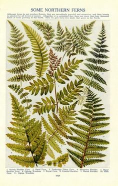 ferns, botanical illustration