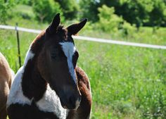 TD's I Love Lucy and Mikade's colt. He's definitely got the color, chrome and curls! Not to mention he is going to be tall! He also has the gentle loving temperament of the curly horses. This boy has it all going for him. Proudly offered for sale.