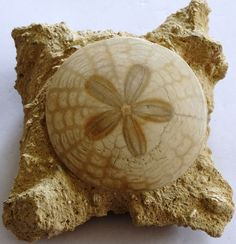 Sand Dollar Fossil, Scutella stelatta from the Miocene Period