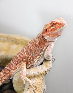 Healthy young red bearded dragon. Credit: ReptiFiles