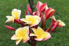 Hawaiian Rose Plumeria 7.4.2014 041