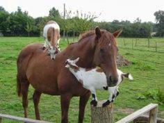 cheval chèvres