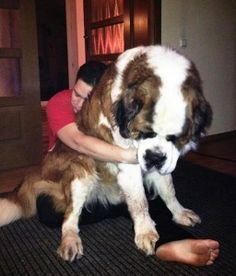 cachorros-muito-grandes-16