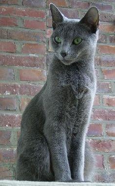 Google Image Result for http://www.animalsites.net/news/gallery/russian-blue-cat/russian-blue-cat-1.jpg