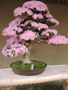 bonsai tree in bloom