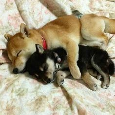 This reminds me of my babies when they were lil shiba inu, snuggles, cún co Akita, Cute Puppies, Cute Dogs, Dogs And Puppies, Doggies, Small Puppies, Corgi Puppies, Beautiful Dogs, Animals Beautiful