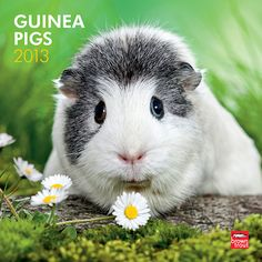 Guinea Pigs Wall Calendar: They're not actually members of the swine family, but these little guinea pigs are liable to cause squeals of delight. Short-eared, plump, and furry, guinea pigs are native to South America but have adapted to life in other climates.  $14.99  http://calendars.com/Small-Pets/Guinea-Pigs-2013-Wall-Calendar/prod201300004274/?categoryId=cat00343=cat00343#