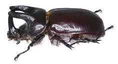 Family: Scarabaeidae Size: 50 mm Location: Papua New Guinea, Batanta Isl, Wallebet leg.det. A.Skale, 2001 Photo: U.Schmidt, 2006