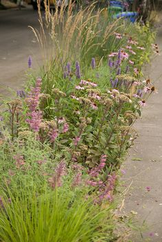 Hyssop, sedum, purple coneflower and perennial grasses