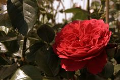 Róża Red Leonadro da Vinci