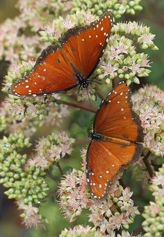 Butterflies on sedum-- one of the best butterfly and bee flowers out there.