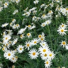 Top 25 Most Beautiful Daisy Flowers, Daisy flowers are members of Asteraceae family, the largest family of flowering plants. The name daisy comes from 'day's eye', because the flower opens, Button Flowers, Cut Flowers, White Flowers, Daisy Flowers, Yellow Daisies, Pink Daisy, Gerbera Jamesonii, Bellis Perennis, Daisy Painting