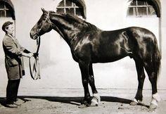 Успех 1951 (Тульский Пряник - Удача) орловская рысистая