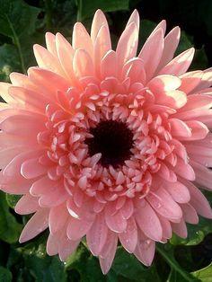 Salmon Pink Gerbera Daisy