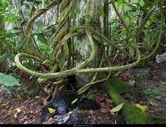 Banisteriopsis caapi- ayahuasca vine