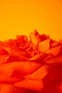 Orange Rose Petals - orange