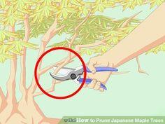 Image titled Prune Japanese Maple Trees Step 5