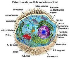 celula eucariota animal