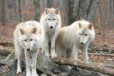 3 white wolves