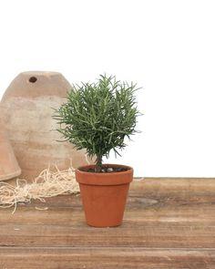Mini Rosemary Topiary Tree