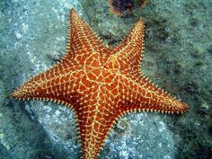 Mundo da Biologia Marinha: Setembro 2014 Mermaid Stories, Animal 2, Marine Biology, Sea And Ocean, Ocean Life, Under The Sea, Starfish, Octopus, Sea Shells