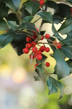 Holly Berries::Gotta have some Holly at Christmas!