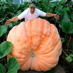 Potiron 'Atlantic Giant' (World Record) Graines