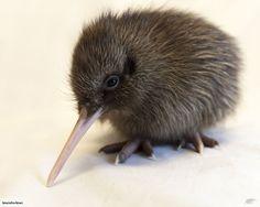 Baby Kiwi. So cute!