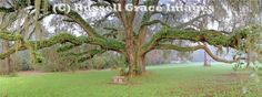 The Grand Oak, Maclay Gardens, Tallahassee, FL. This huge photo hangs over our bed.