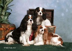 I want a Cavalier King Charles Spaniel someday!