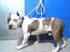 NO LONGER AVAILABLE. A4426863 and A4427031 - URGENT - LANCASTER SHELTER is an adoptable Pit Bull Terrier Dog in Lancaster, CA.  ** MANY PIT BULL TERRIERS AVAILABLE AT THIS SHELTER ** To get more information about the dog(...