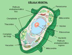 celula vegetal con sus partes - Buscar con Google