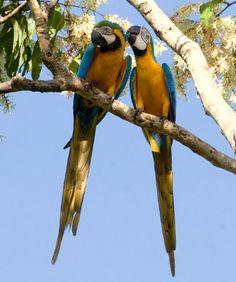 Ara ararauna, Blue-and-yellow Macaw, Tjambaraaf / Blauwgele raaf door Louis des Tombe