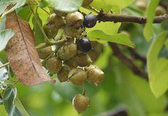 ตะคร้อ ชื่อวิทยาศาสตร์ Schleichera oleosa (Lour.) Merr ประโยชน์ต้นตะคร้อ สรรพคุณตะคร้อ ลักษณะตะคร้อ ใบตะคร้อ ดอกตะคร้อ ผลตะคร้อ ไม้ตะคร้อ รูปต้นตะคร้อ