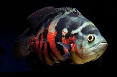 Tropical Fish Aquarium, Freshwater Aquarium Fish, Fish Aquariums, Malawi Cichlids, African Cichlids, South American Cichlids, Oscar Fish, Cichlid Fish, Aquarium Pump