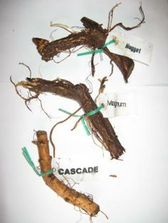 Hop Rhizomes.  A little time, sunshine, and water and it's beer time.  http://www.growinghopsyourself.com/growing-hops/growing-hops-from-rhizomes/#