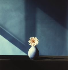 lesthetiquedelinventaire:  Mapplethorpe, African Daisy.