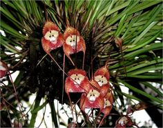 Monkey orchids (Dracula Simia) from the Peruvian cloud forests -- altitude of 1000-2000 meters