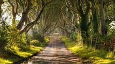 """This Beech Tree tunnel was planted in the 1800's and feature on the HBO series """"Game of Thrones"""" based on the books by George R R Martin."""