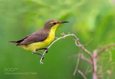 Purple Sunbird Female by AmjadKhan3