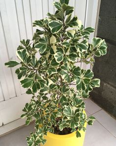 ficus triangularis variegata Indoor Trees, Indoor Planters, Chinese Evergreen Plant, Ficus Tree, Inside Plants, Variegated Plants, Vegetable Garden Design, Interior Plants, My Secret Garden